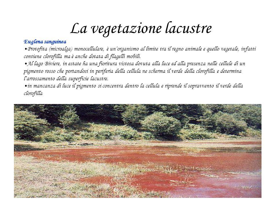 Euglena sanguinea Protofita (microalga) monocellulare, è unorganismo al limite tra il regno animale e quello vegetale, infatti contiene clorofilla ma