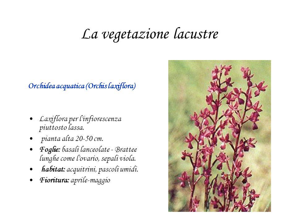La vegetazione lacustre Orchidea acquatica (Orchis laxiflora) Laxiflora per l'infiorescenza piuttosto lassa. pianta alta 20-50 cm. Foglie: basali lanc