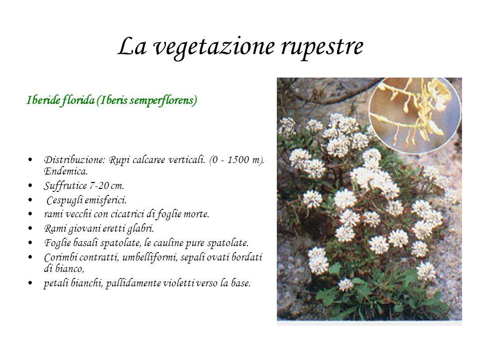 La vegetazione rupestre Iberide florida (Iberis semperflorens) Distribuzione: Rupi calcaree verticali. (0 - 1500 m). Endemica. Suffrutice 7-20 cm. Ces