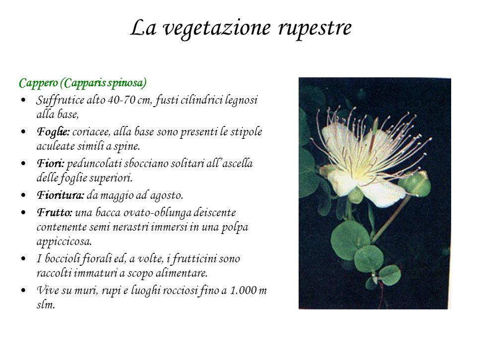 La vegetazione rupestre Cappero (Capparis spinosa) Suffrutice alto 40-70 cm, fusti cilindrici legnosi alla base, Foglie: coriacee, alla base sono pres
