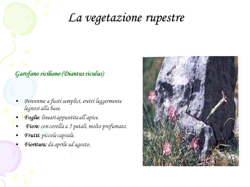 La vegetazione rupestre Garofano siciliano (Diantus siculus) Perennme a fusti semplici, eretti leggermente legnosi alla base. Foglie: lineari appuntit
