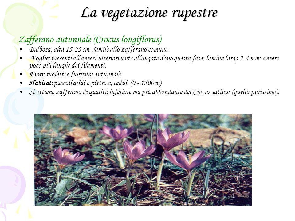 La vegetazione rupestre Zafferano autunnale (Crocus longiflorus) Bulbosa, alta 15-25 cm. Simile allo zafferano comune. Foglie: presenti all'antesi ult