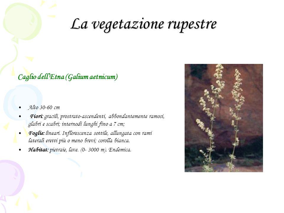 La vegetazione rupestre Caglio dellEtna (Galium aetnicum) Alto 30-60 cm Fiori: gracili, prostrato-ascendenti, abbondantemente ramosi, glabri e scabri; internodi lunghi fino a 7 cm; Foglie: lineari.