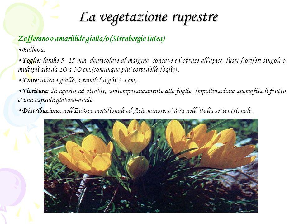 La vegetazione rupestre Zafferano o amarillide gialla/o (Strenbergia lutea) Bulbosa. Foglie: larghe 5- 15 mm, denticolate al margine, concave ed ottus