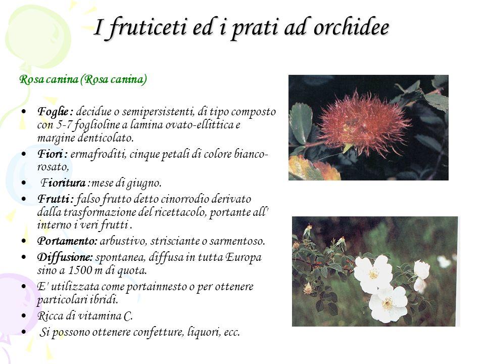 I fruticeti ed i prati ad orchidee Rosa canina (Rosa canina) Foglie : decidue o semipersistenti, di tipo composto con 5-7 foglioline a lamina ovato-ellittica e margine denticolato.