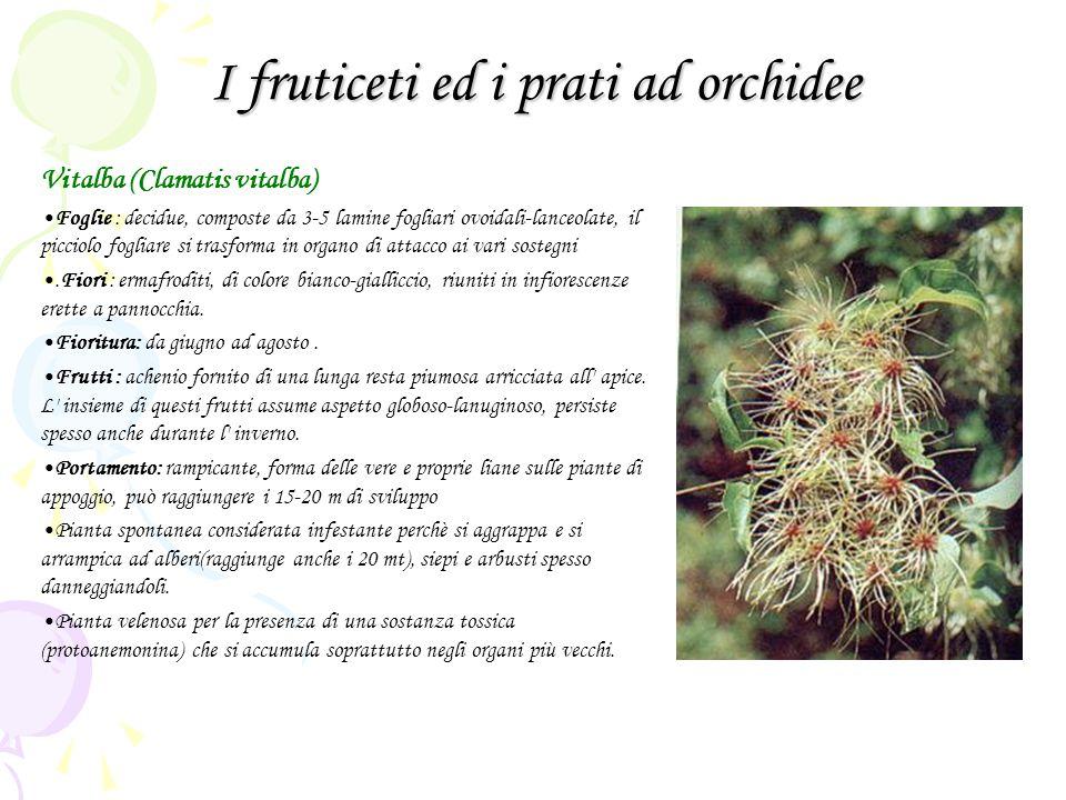I fruticeti ed i prati ad orchidee Vitalba (Clamatis vitalba) Foglie : decidue, composte da 3-5 lamine fogliari ovoidali-lanceolate, il picciolo fogli