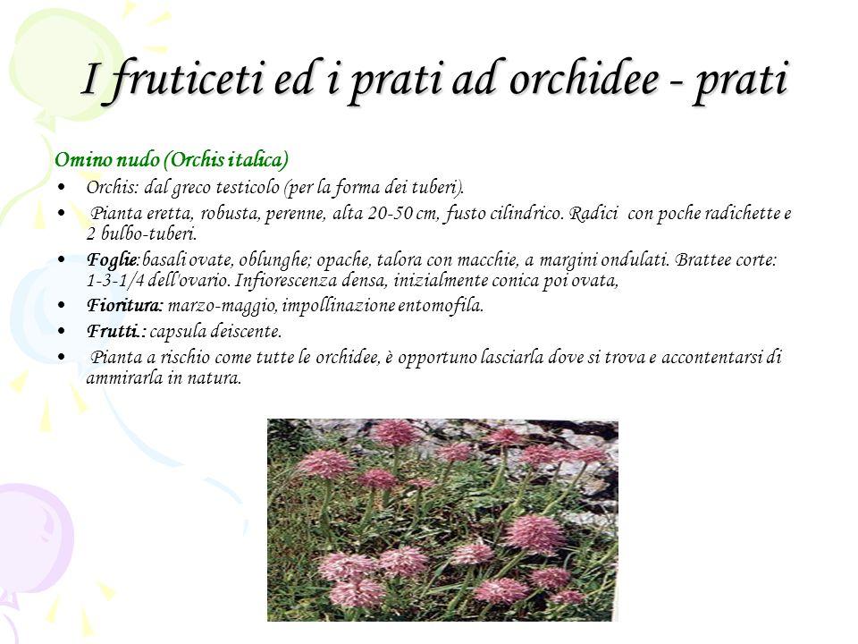 I fruticeti ed i prati ad orchidee - prati Omino nudo (Orchis italica) Orchis: dal greco testicolo (per la forma dei tuberi). Pianta eretta, robusta,