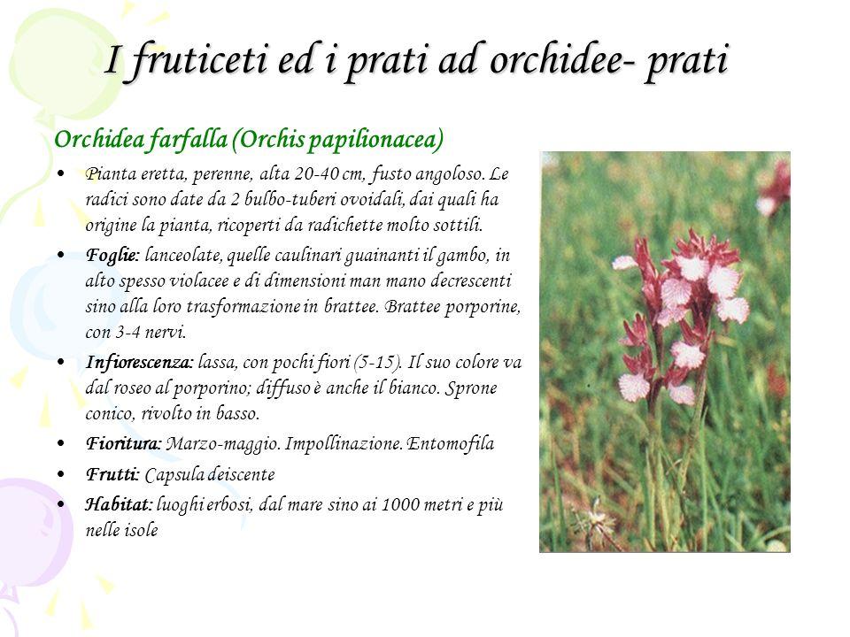 I fruticeti ed i prati ad orchidee- prati Orchidea farfalla (Orchis papilionacea) Pianta eretta, perenne, alta 20-40 cm, fusto angoloso.