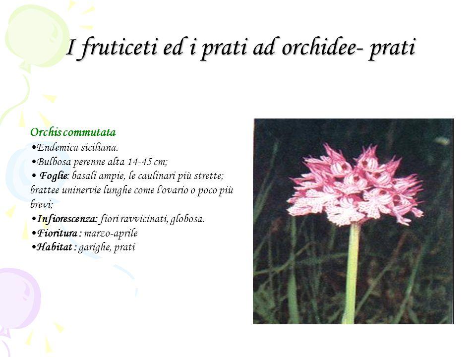 I fruticeti ed i prati ad orchidee- prati Orchis commutata Endemica siciliana. Bulbosa perenne alta 14-45 cm; Foglie: basali ampie, le caulinari più s