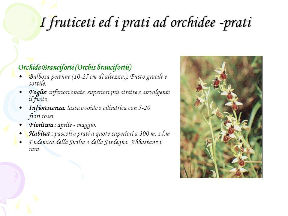 I fruticeti ed i prati ad orchidee -prati Orchide Branciforti (Orchis brancifortii) Bulbosa perenne (10-25 cm di altezza.). Fusto gracile e sottile. F