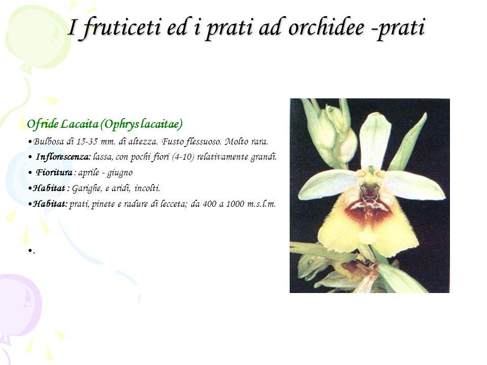 I fruticeti ed i prati ad orchidee -prati Ofride Lacaita (Ophrys lacaitae) Bulbosa di 15-35 mm. di altezza. Fusto flessuoso. Molto rara. Inflorescenza