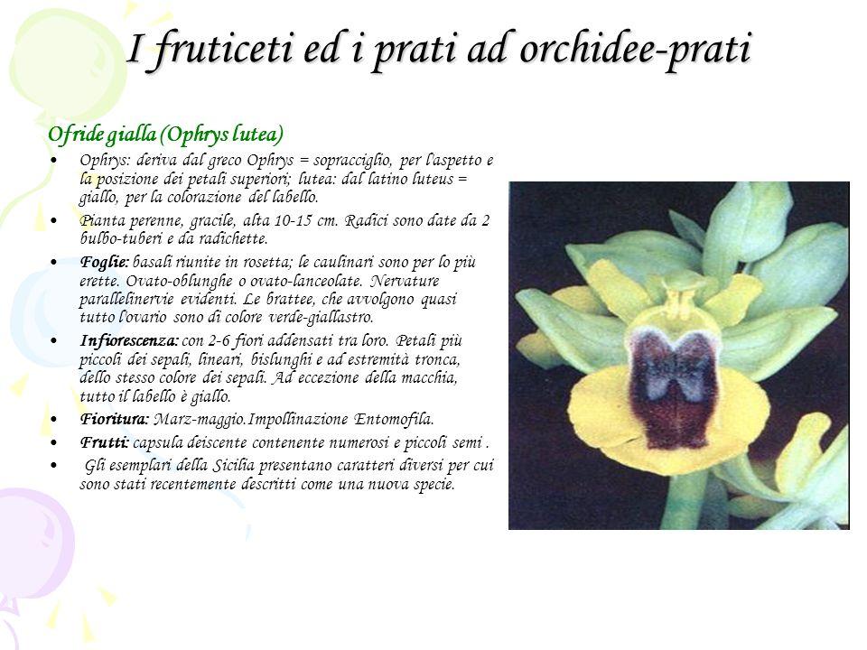 I fruticeti ed i prati ad orchidee-prati Ofride gialla (Ophrys lutea) Ophrys: deriva dal greco Ophrys = sopracciglio, per l aspetto e la posizione dei petali superiori; lutea: dal latino luteus = giallo, per la colorazione del labello.