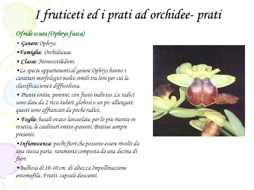 I fruticeti ed i prati ad orchidee- prati Ofride scura (Ophrys fusca) Genere: Ophrys. Famiglia: Orchidaceae Classe: Monocotiledoni. Le specie apparten