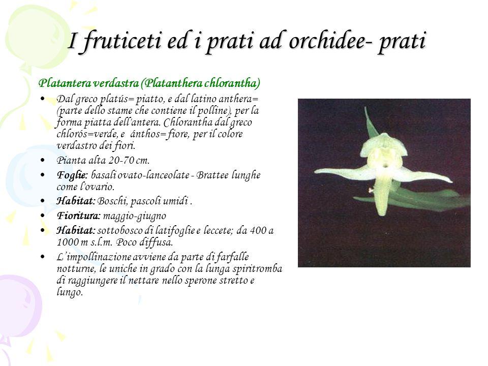 I fruticeti ed i prati ad orchidee- prati Platantera verdastra (Platanthera chlorantha) Dal greco platús= piatto, e dal latino anthera= (parte dello stame che contiene il polline), per la forma piatta dell antera.