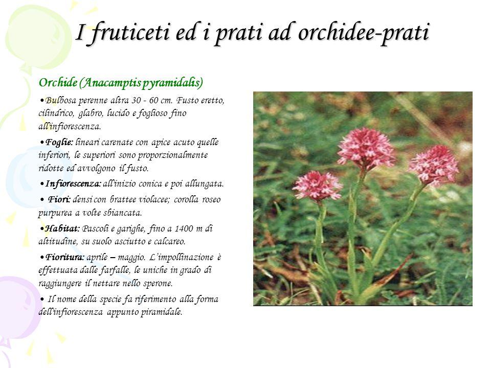 I fruticeti ed i prati ad orchidee-prati Orchide (Anacamptis pyramidalis) Bulbosa perenne altra 30 - 60 cm. Fusto eretto, cilindrico, glabro, lucido e