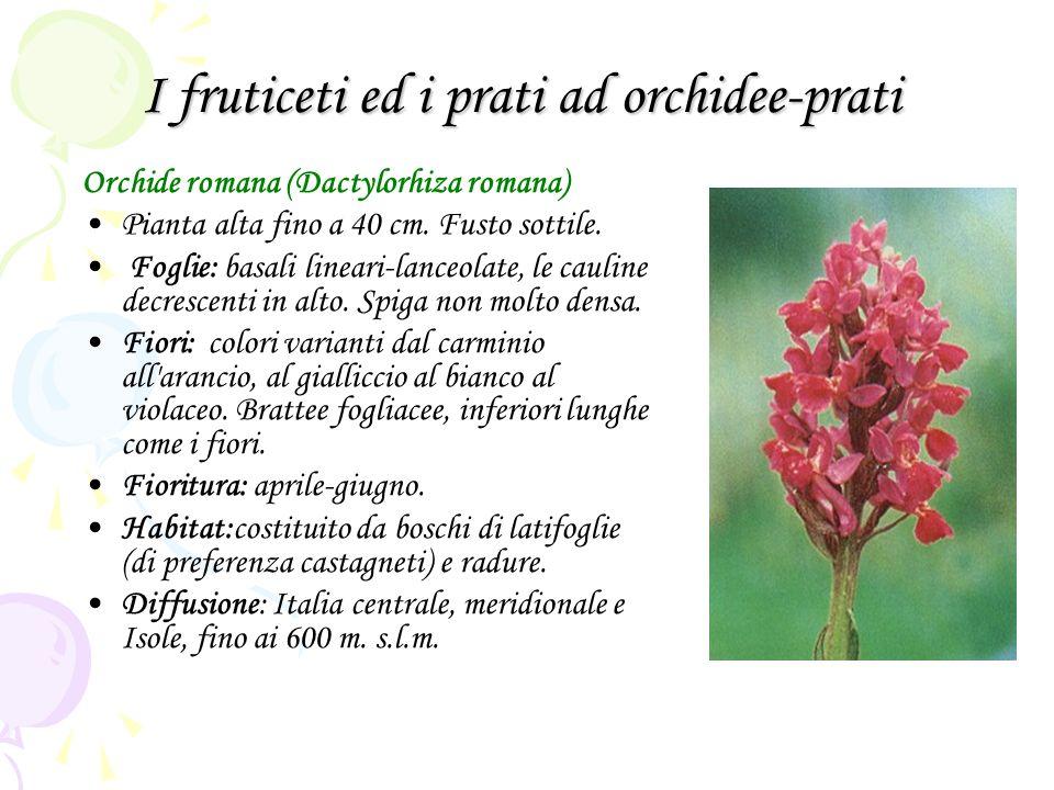 I fruticeti ed i prati ad orchidee-prati Orchide romana (Dactylorhiza romana) Pianta alta fino a 40 cm. Fusto sottile. Foglie: basali lineari-lanceola