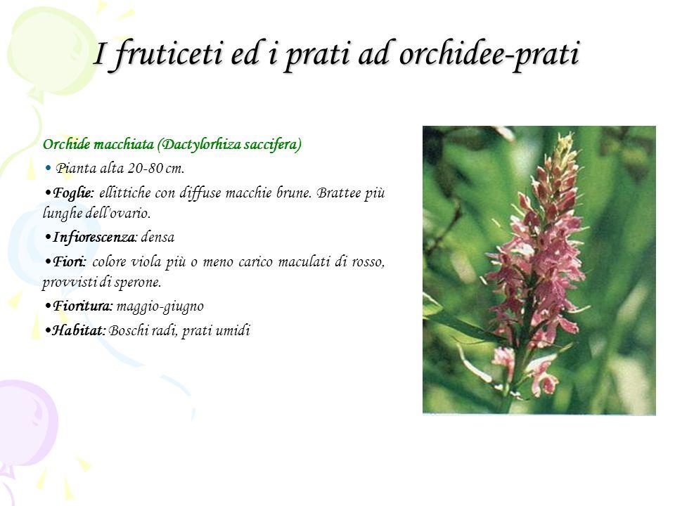 I fruticeti ed i prati ad orchidee-prati Orchide macchiata (Dactylorhiza saccifera) Pianta alta 20-80 cm. Foglie: ellittiche con diffuse macchie brune