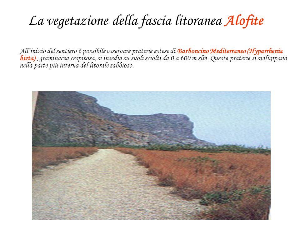 La vegetazione della fascia litoranea Alofite Allinizio del sentiero è possibile osservare praterie estese di Barboncino Mediterraneo (Hyparrhenia hirta), graminacea cespitosa, si insedia su suoli sciolti da 0 a 600 m slm.
