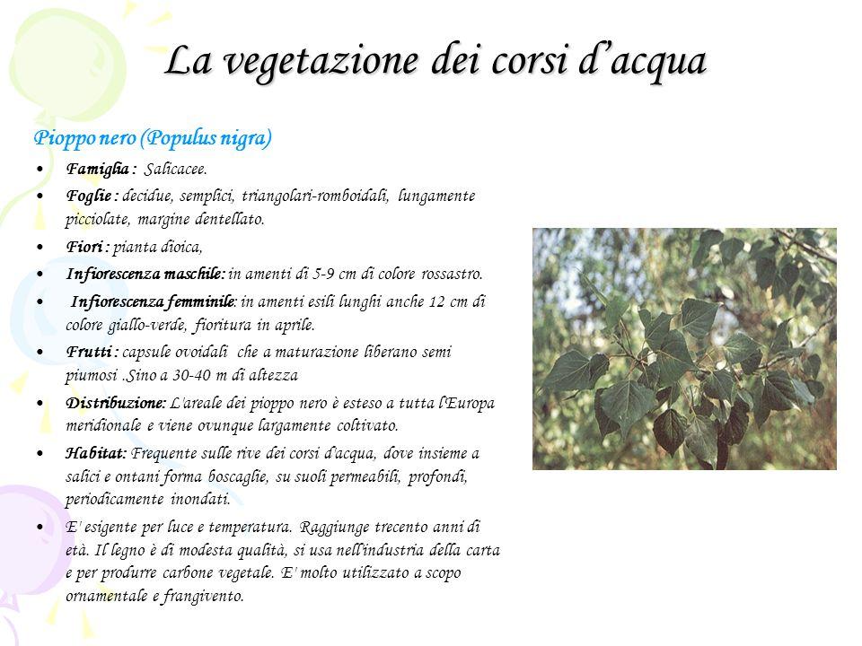 La vegetazione dei corsi dacqua Pioppo nero (Populus nigra) Famiglia : Salicacee. Foglie : decidue, semplici, triangolari-romboidali, lungamente picci