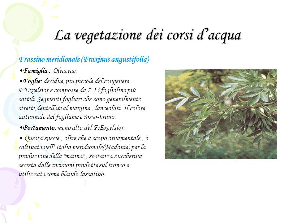 La vegetazione dei corsi dacqua Frassino meridionale (Fraxinus angustifolia) Famiglia : Oleaceae. Foglie: decidue, più piccole del congenere F.Excelsi