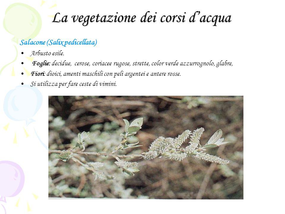 La vegetazione dei corsi dacqua Salacone (Salix pedicellata) Arbusto esile. Foglie: decidue, cerose, coriacee rugose, strette, color verde azzurrognol