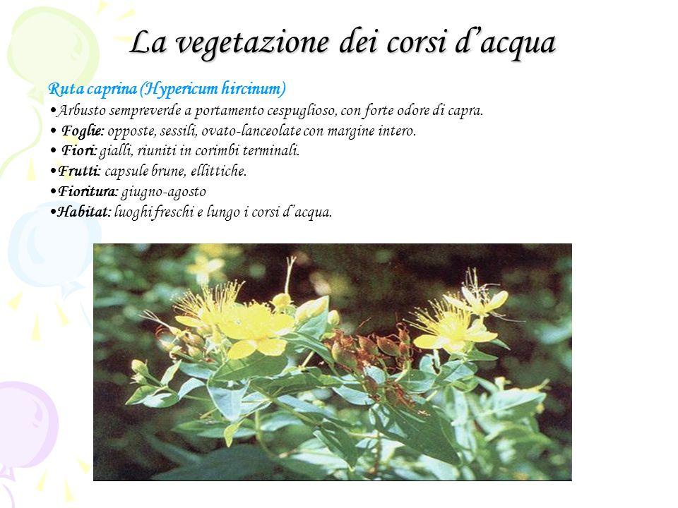 La vegetazione dei corsi dacqua Ruta caprina (Hypericum hircinum) Arbusto sempreverde a portamento cespuglioso, con forte odore di capra.