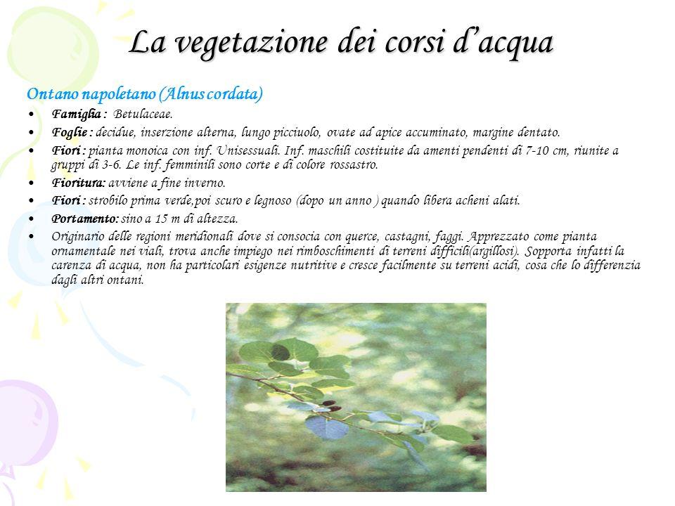 La vegetazione dei corsi dacqua Ontano napoletano (Alnus cordata) Famiglia : Betulaceae. Foglie : decidue, inserzione alterna, lungo picciuolo, ovate
