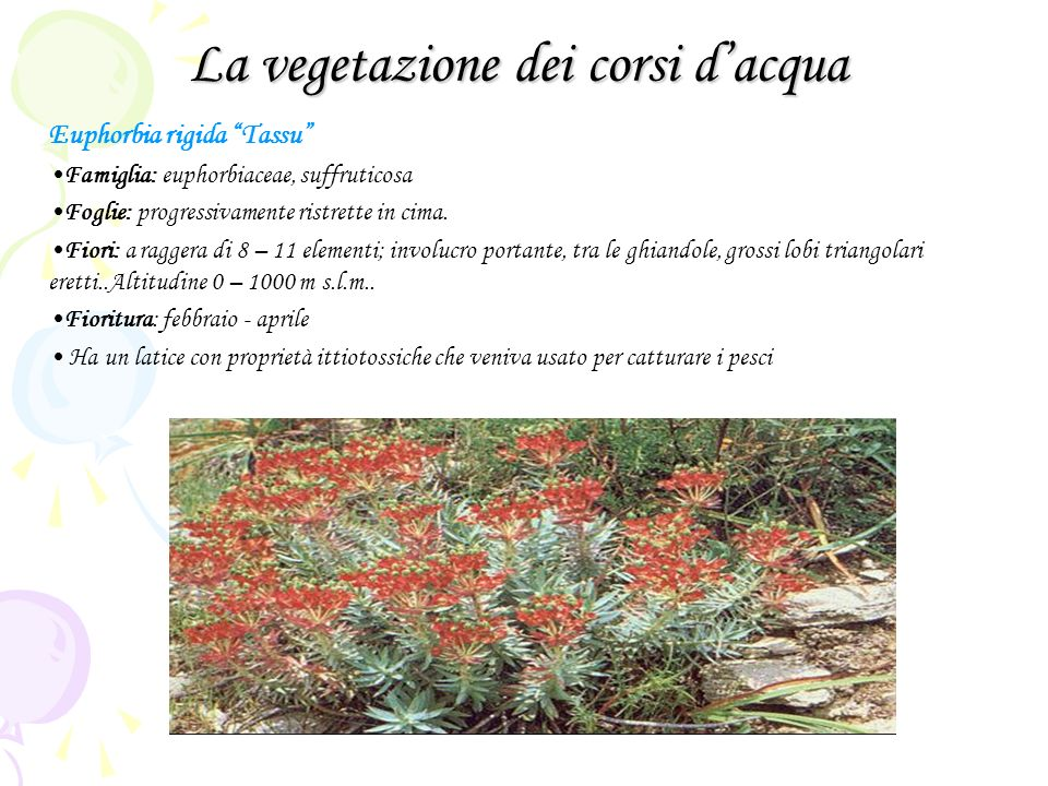 La vegetazione dei corsi dacqua Euphorbia rigida Tassu Famiglia: euphorbiaceae, suffruticosa Foglie: progressivamente ristrette in cima. Fiori: a ragg