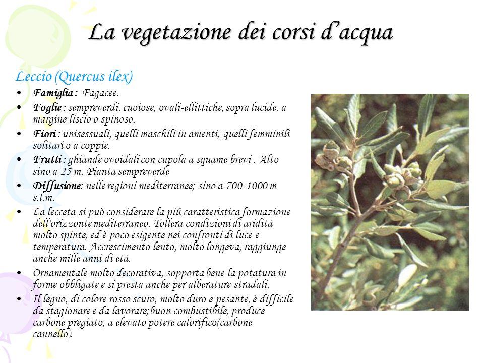 La vegetazione dei corsi dacqua Leccio (Quercus ilex) Famiglia : Fagacee. Foglie : sempreverdi, cuoiose, ovali-ellittiche, sopra lucide, a margine lis