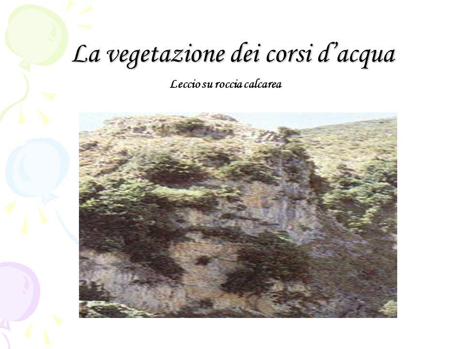 La vegetazione dei corsi dacqua Leccio su roccia calcarea