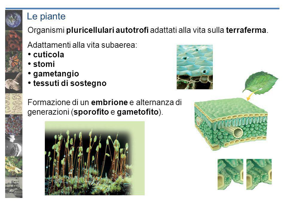 Le piante Organismi pluricellulari autotrofi adattati alla vita sulla terraferma. Adattamenti alla vita subaerea: cuticola stomi gametangio tessuti di