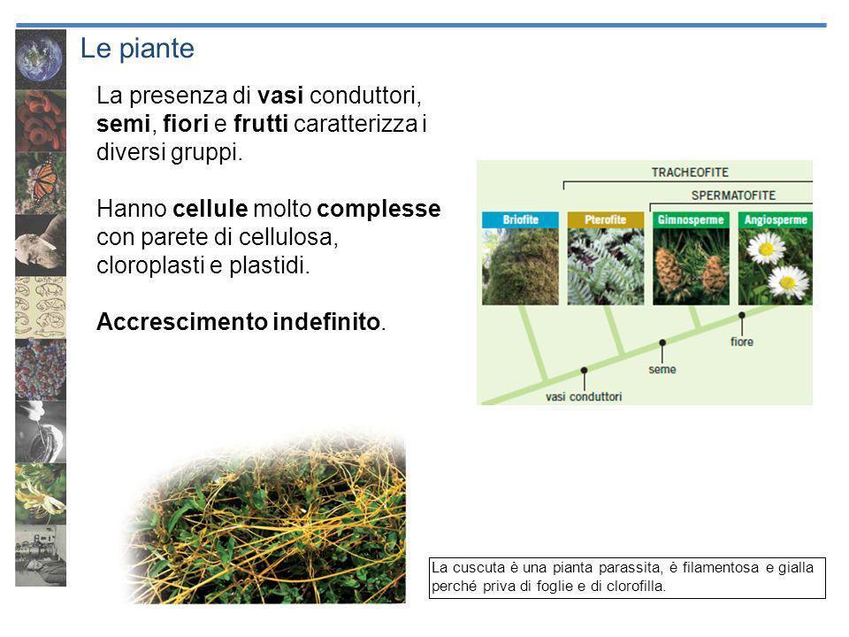 Le piante La presenza di vasi conduttori, semi, fiori e frutti caratterizza i diversi gruppi. Hanno cellule molto complesse con parete di cellulosa, c