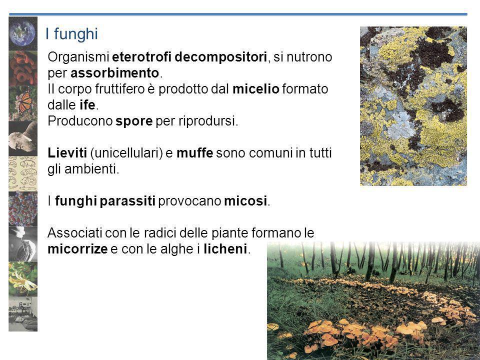 I funghi Organismi eterotrofi decompositori, si nutrono per assorbimento. Il corpo fruttifero è prodotto dal micelio formato dalle ife. Producono spor
