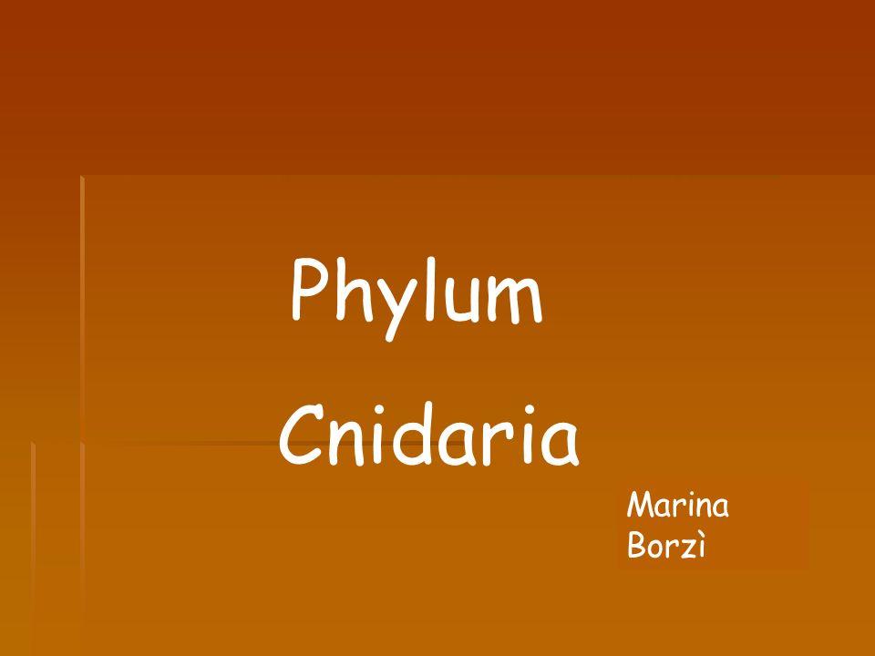 Phylum Cnidaria Marina Borzì