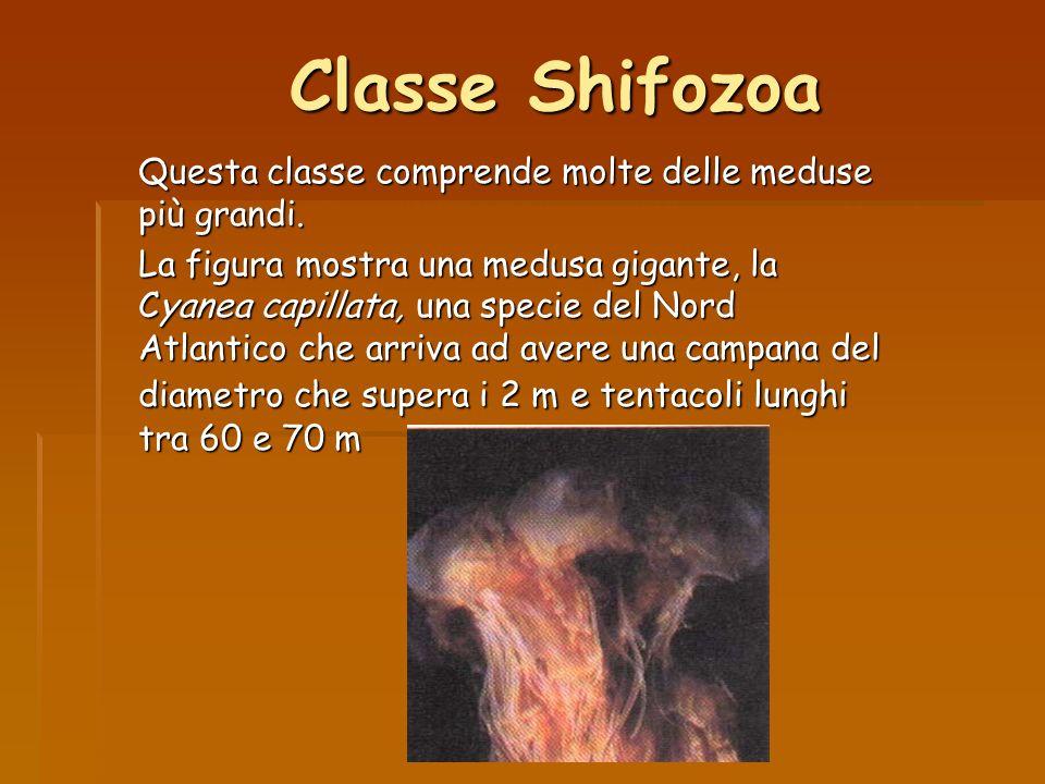 Classe Shifozoa Questa classe comprende molte delle meduse più grandi. La figura mostra una medusa gigante, la Cyanea capillata, una specie del Nord A