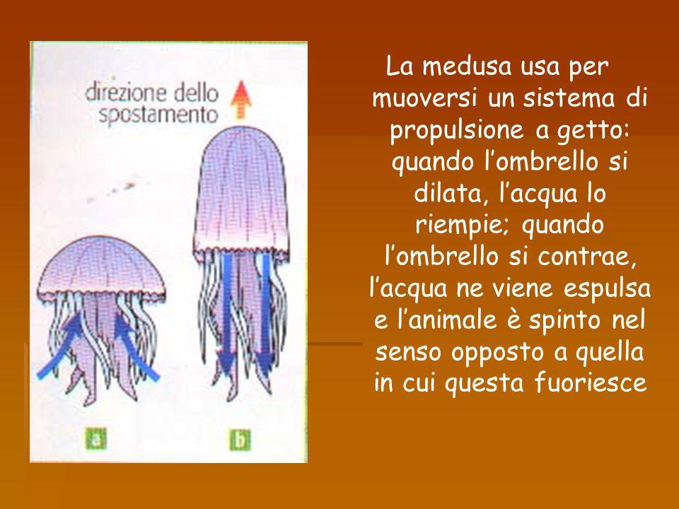 La medusa usa per muoversi un sistema di propulsione a getto: quando lombrello si dilata, lacqua lo riempie; quando lombrello si contrae, lacqua ne vi