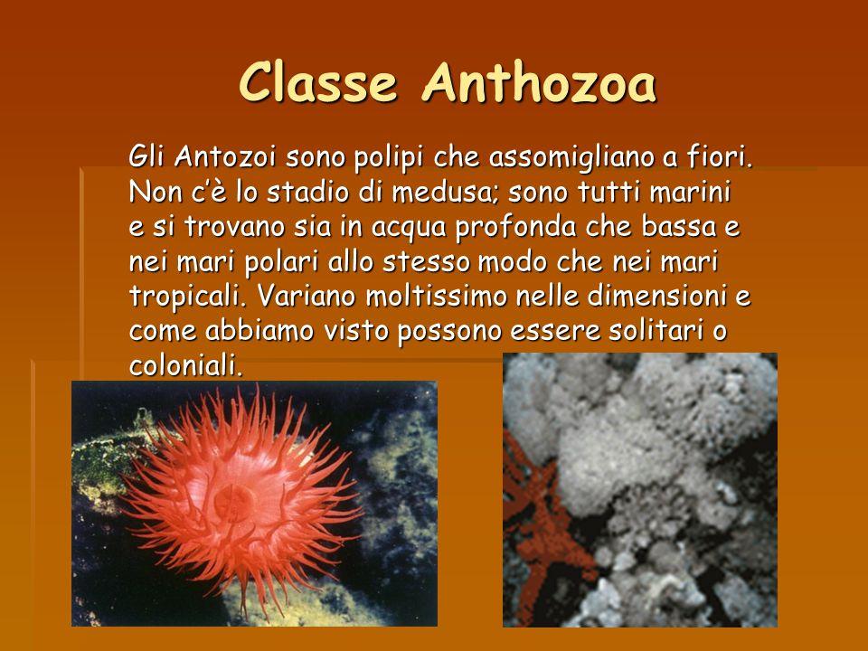 Classe Anthozoa Gli Antozoi sono polipi che assomigliano a fiori. Non cè lo stadio di medusa; sono tutti marini e si trovano sia in acqua profonda che