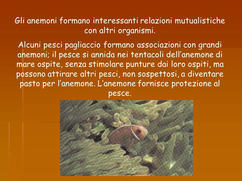 Gli anemoni formano interessanti relazioni mutualistiche con altri organismi. Alcuni pesci pagliaccio formano associazioni con grandi anemoni; il pesc
