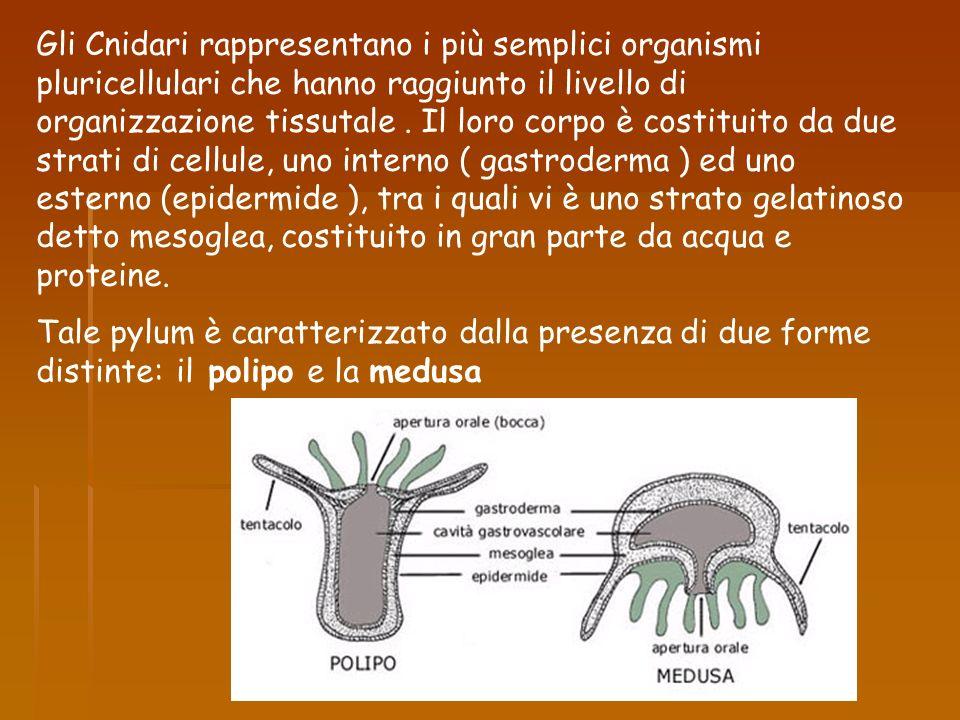 Gli Cnidari rappresentano i più semplici organismi pluricellulari che hanno raggiunto il livello di organizzazione tissutale. Il loro corpo è costitui