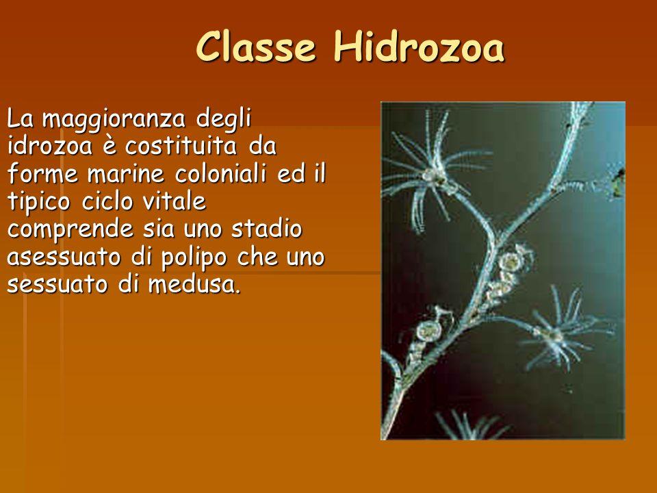 Classe Hidrozoa La maggioranza degli idrozoa è costituita da forme marine coloniali ed il tipico ciclo vitale comprende sia uno stadio asessuato di po