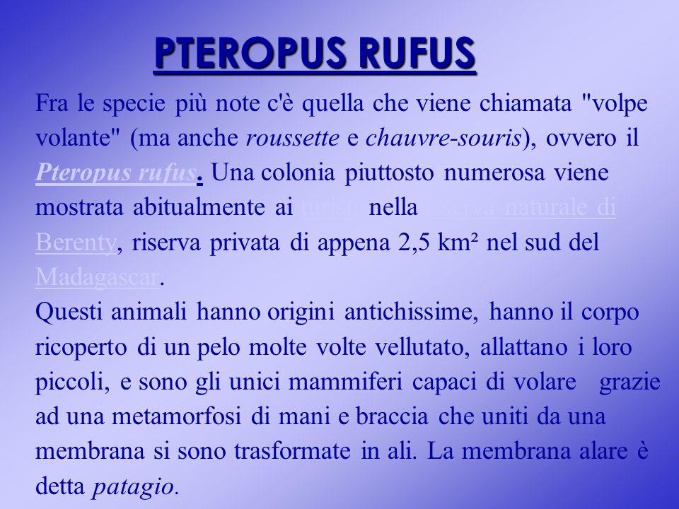 PTEROPUS RUFUS Fra le specie più note c'è quella che viene chiamata