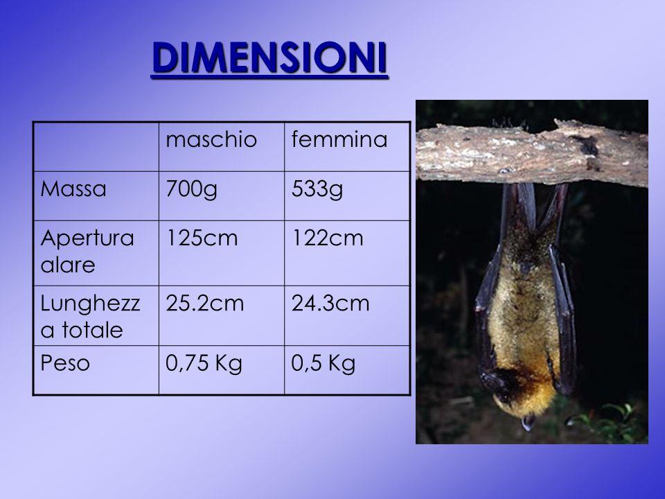 DIMENSIONI maschiofemmina Massa700g533g Apertura alare 125cm122cm Lunghezz a totale 25.2cm24.3cm Peso0,75 Kg0,5 Kg