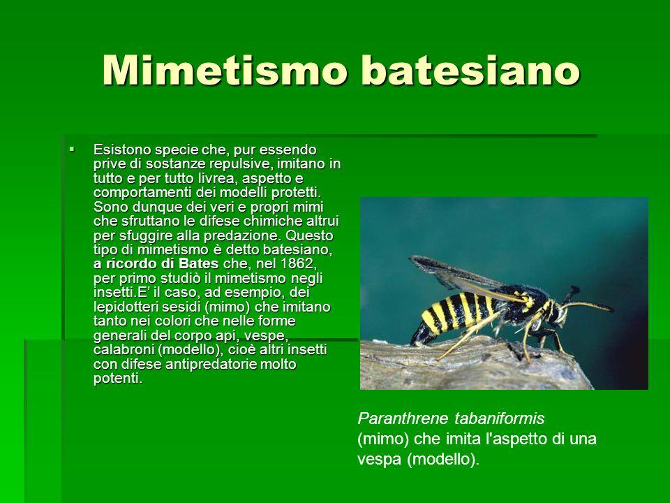 Mimetismo batesiano Esistono specie che, pur essendo prive di sostanze repulsive, imitano in tutto e per tutto livrea, aspetto e comportamenti dei mod
