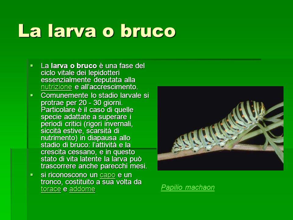La larva o bruco La larva o bruco è una fase del ciclo vitale dei lepidotteri essenzialmente deputata alla nutrizione e allaccrescimento. La larva o b