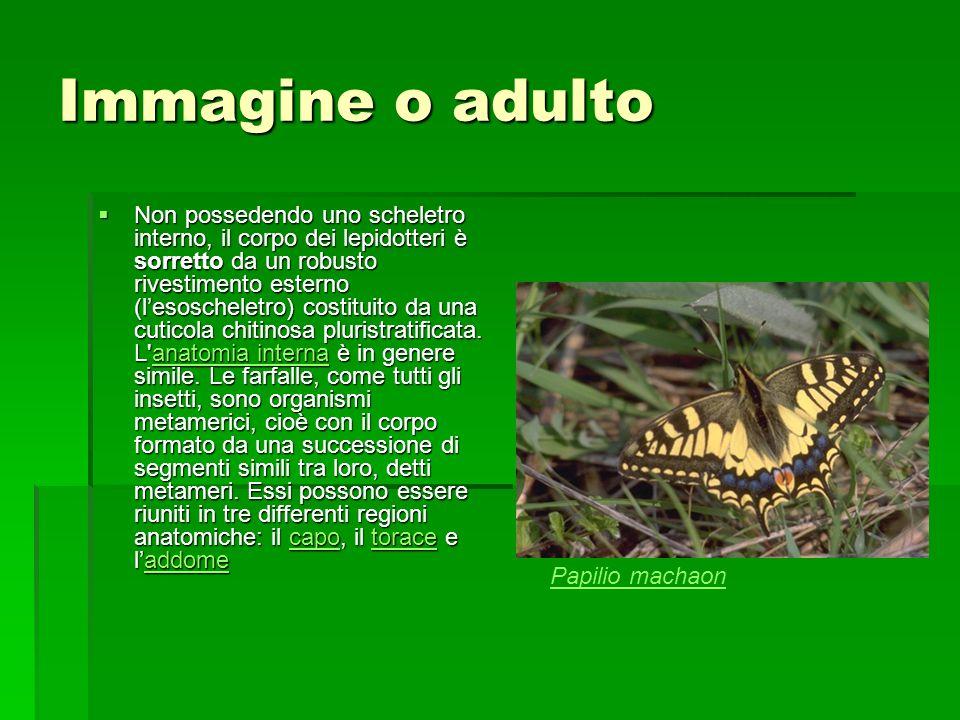 Immagine o adulto Non possedendo uno scheletro interno, il corpo dei lepidotteri è sorretto da un robusto rivestimento esterno (lesoscheletro) costitu