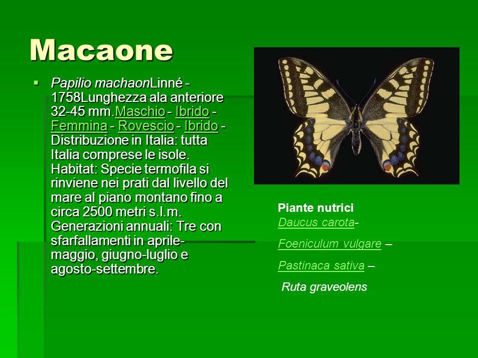 Macaone Papilio machaonLinné - 1758Lunghezza ala anteriore 32-45 mm.Maschio - Ibrido - Femmina - Rovescio - Ibrido - Distribuzione in Italia: tutta It