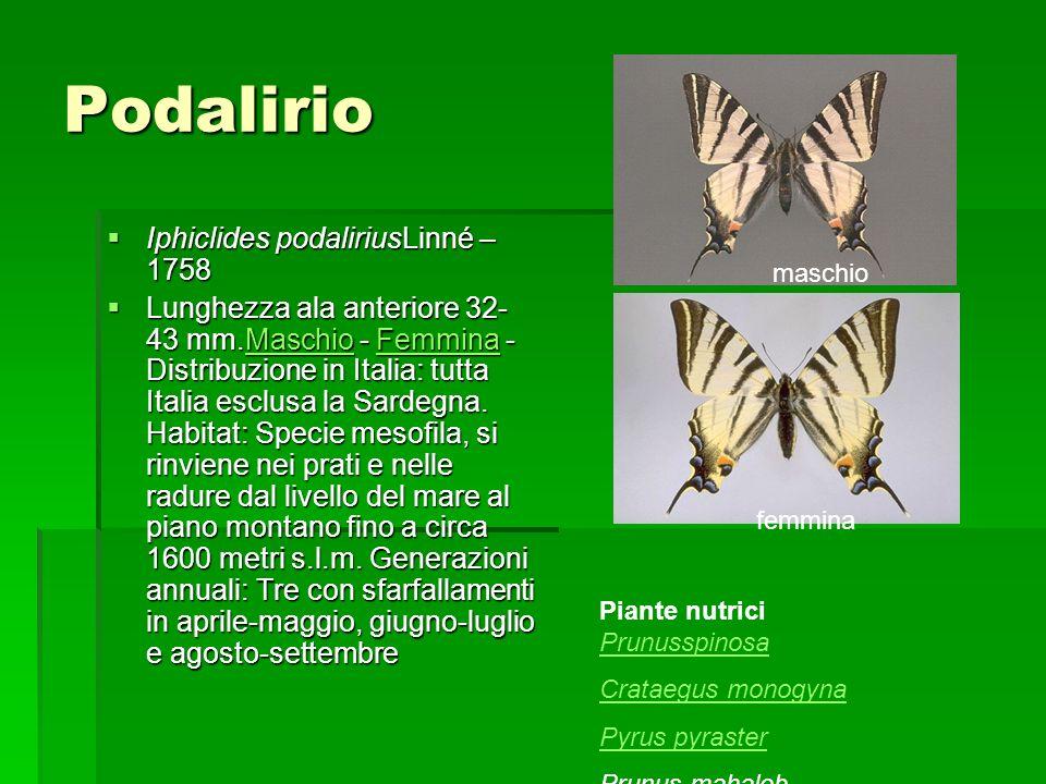 Podalirio Iphiclides podaliriusLinné – 1758 Iphiclides podaliriusLinné – 1758 Lunghezza ala anteriore 32- 43 mm.Maschio - Femmina - Distribuzione in I