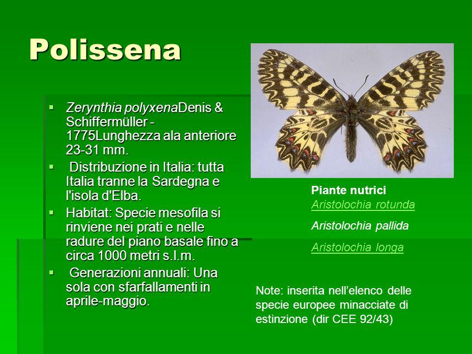 Polissena Zerynthia polyxenaDenis & Schiffermüller - 1775Lunghezza ala anteriore 23-31 mm. Zerynthia polyxenaDenis & Schiffermüller - 1775Lunghezza al