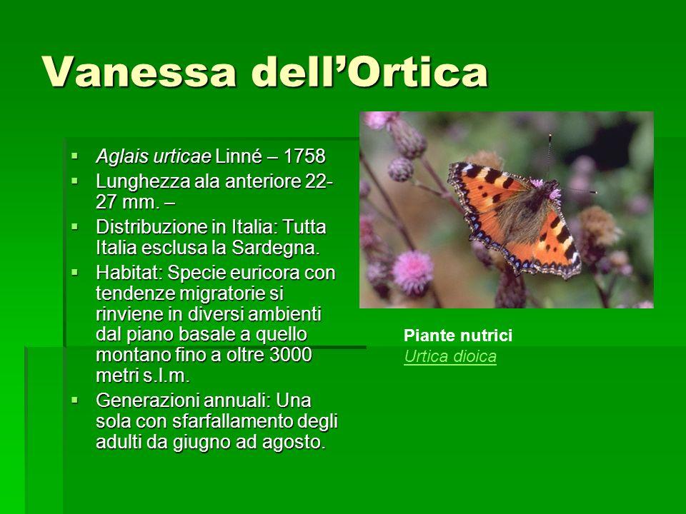 Vanessa dellOrtica Aglais urticae Linné – 1758 Aglais urticae Linné – 1758 Lunghezza ala anteriore 22- 27 mm. – Lunghezza ala anteriore 22- 27 mm. – D