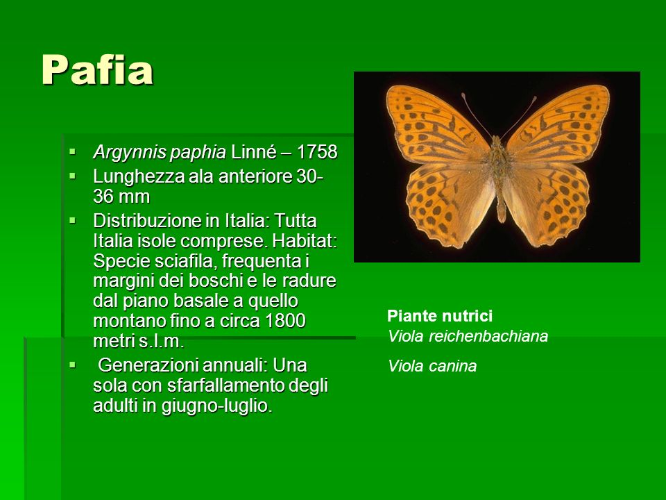 Pafia Argynnis paphia Linné – 1758 Argynnis paphia Linné – 1758 Lunghezza ala anteriore 30- 36 mm Lunghezza ala anteriore 30- 36 mm Distribuzione in I